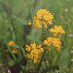 Mustardマスタード