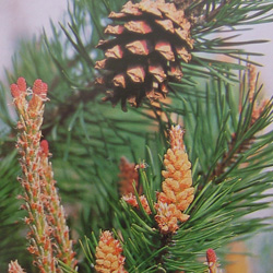 Pineパイン