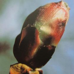 Chestnut budチェストナットバッド