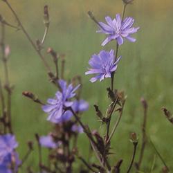 Chicoryチコリー