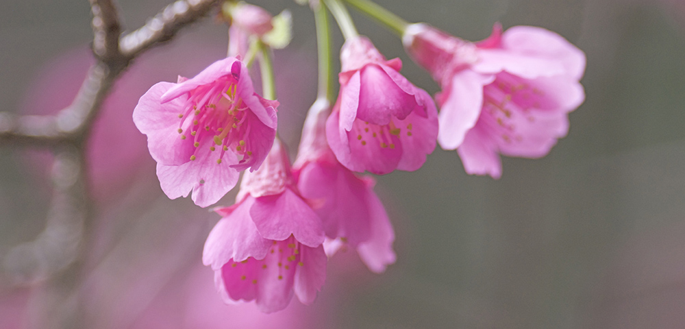 緋寒桜 フラワーエッセンス