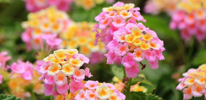 夏の花ランタナ